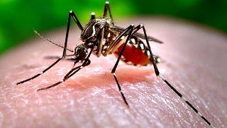Mosquito, uno de los principales transmisores del dengue