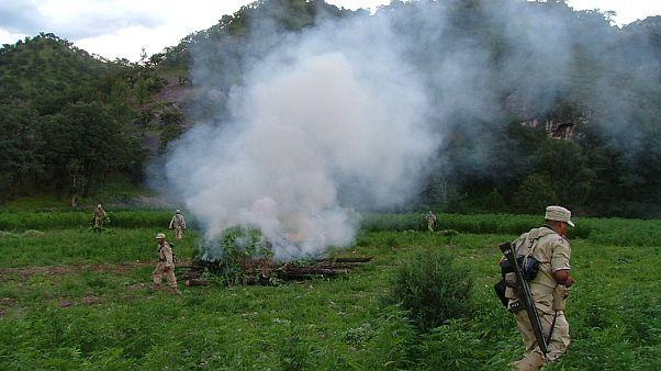 Fuerzas del orden queman plantas de marihuana (Archivo)