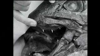 """علماء يحاولون حل لغز """"السمكة الديناصور"""""""