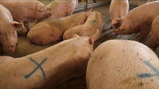 Brexit: Η Δανία και οι εξαγωγές χοιρινού