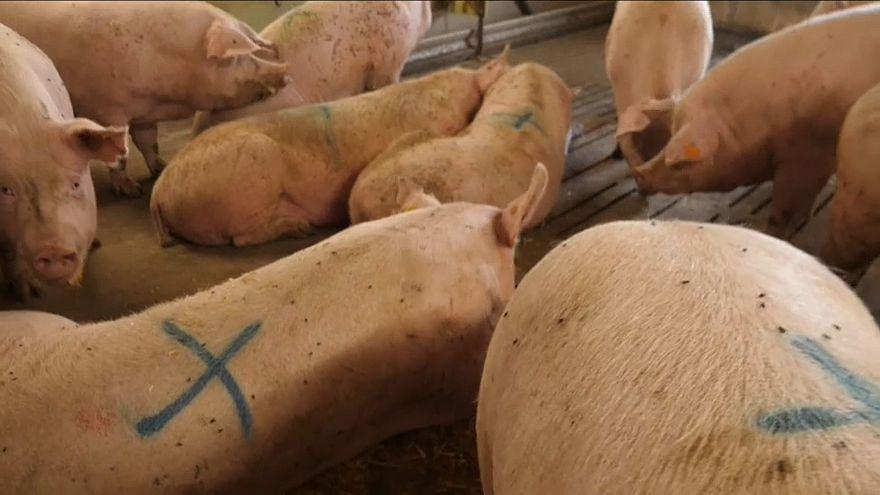 Bacon britânico, porcos dinamarqueses