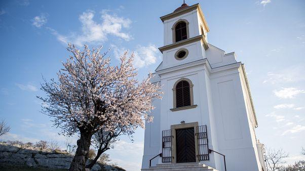 A 2019-es év európai fájának megválasztott pécsi havihegyi mandulafa