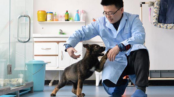 Der geklonte Polizeihund Kunxun mit einem Forscher.