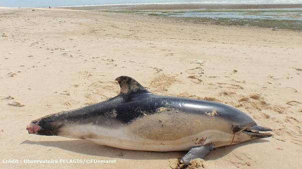 Fransa'da yılbaşından bu yana binden fazla yunus karaya vurdu: Ölüm nedenleri balıkçı ağları