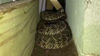 45 serpientes de cascabel bajo el suelo de una casa