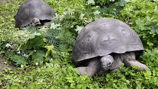 This nursery can save an entire population of giant tortoises
