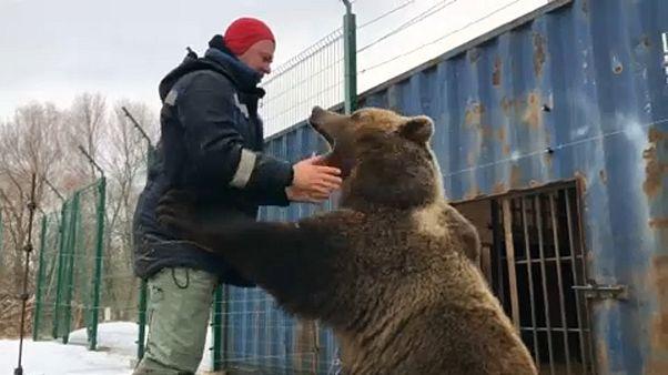 الدب منصور في روسيا