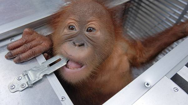 Russian tourist detained after 'trying to smuggle endangered baby orangutan' out of Bali