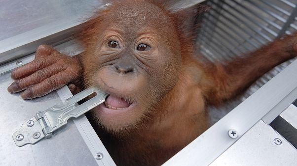 Endonezya: Bagajında orangutan kaçırmaya çalışan Rus turist yakalandı