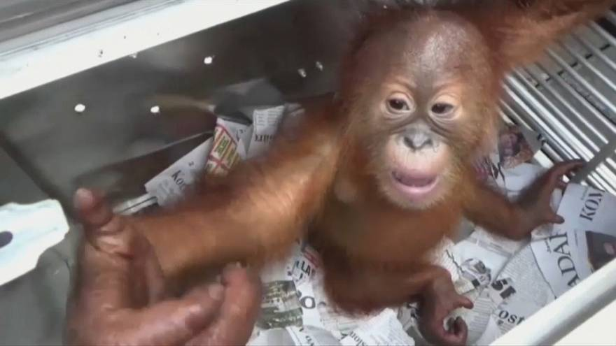 Россиянин пытался везти с Бали детеныша орангутана