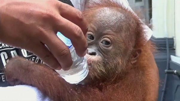 Betäubt im Koffer eines Russen: Gerettetem Orang-Utan geht es besser