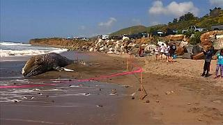 Carcaça de baleia cinzenta aparece em praia de Malibu