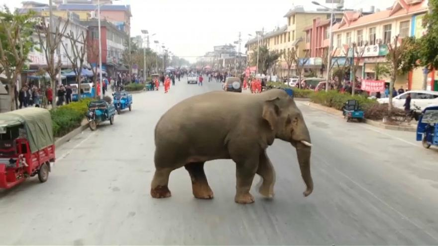 Wild elephant makes trouble on downtown street in southwest China