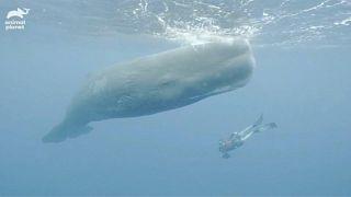 """حيتان العنبر الكبير لا تقترب عادة من سطح البحر كثيراً بحسب """"أنيمال بلانيت"""""""