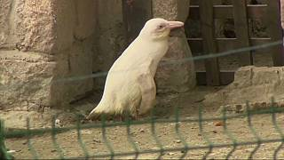 Pinguim albino é nova atração do zoo de Gdansk