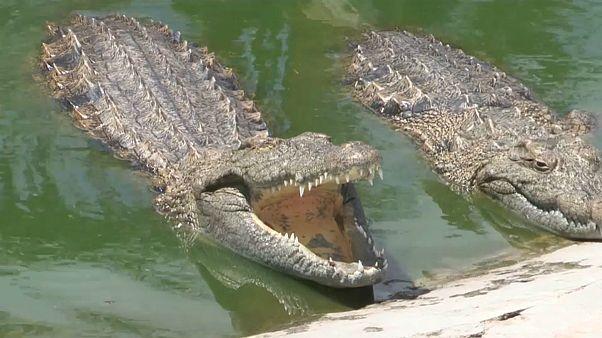 Alguns dos crocodilos da quinta de Manuel Guimarães a norte da Beira