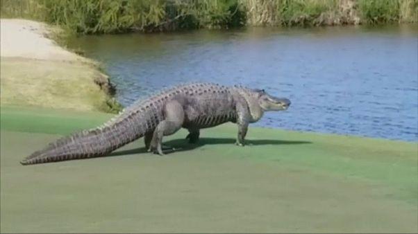 Golf sahasında giren dev timsah korkuya neden oldu