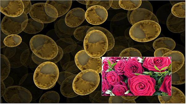 دانشمندان مخمرهایی با عطر گل رز تولید کردند