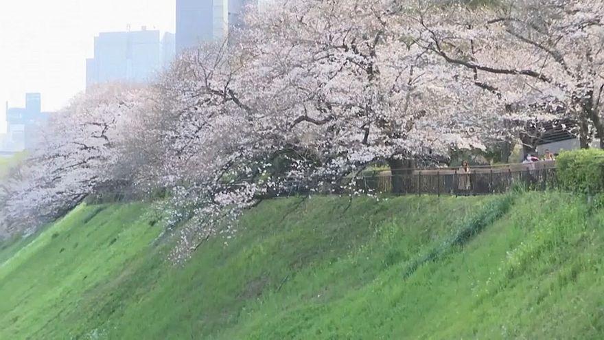 شکوفههای گیلاس در ژاپن