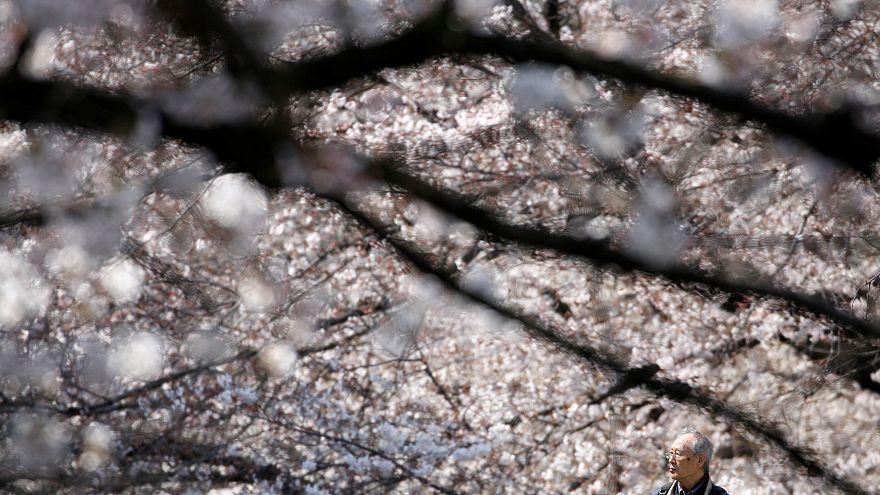 Teljes pompájukban virágzanak a cseresznyefák Japánban