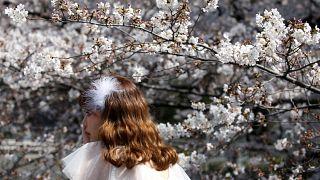 Kirschblüte: Ankunft des Frühlings in Japan