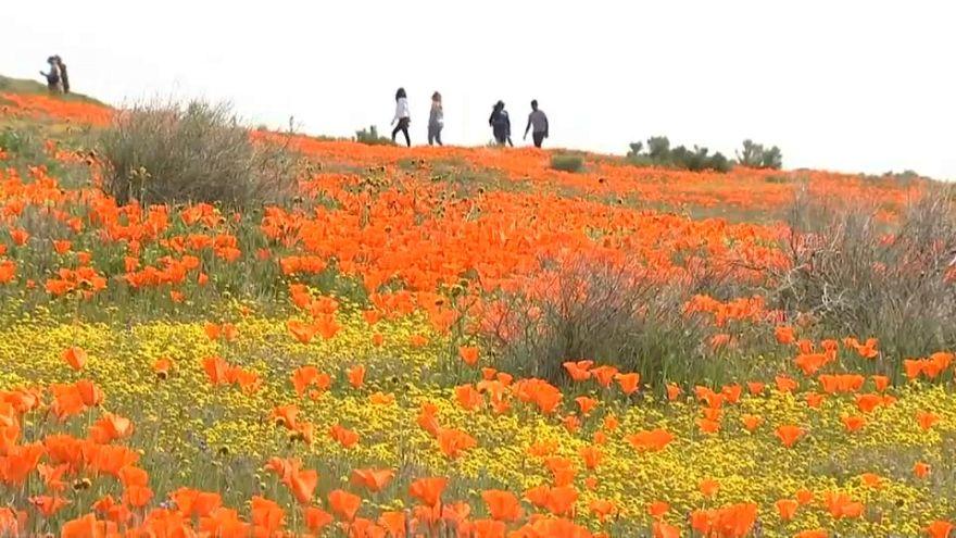 Blumenfelder in den USA: Angucken ja, betreten nein