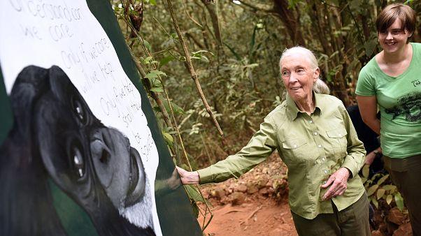 """Jane Goodall está """"horrorizada por lo que hacemos en las granjas industriales"""""""