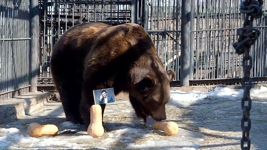الدب بويان