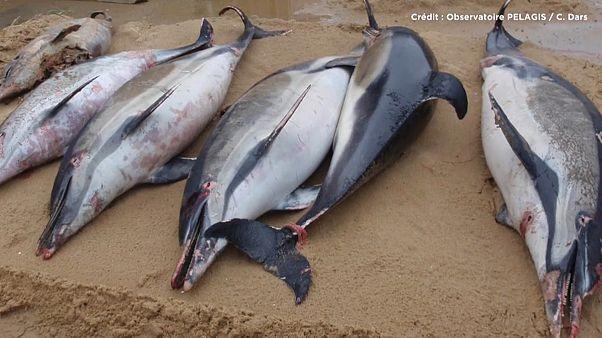 Mais de 1100 golfinhos mortos na costa francesa em 2019