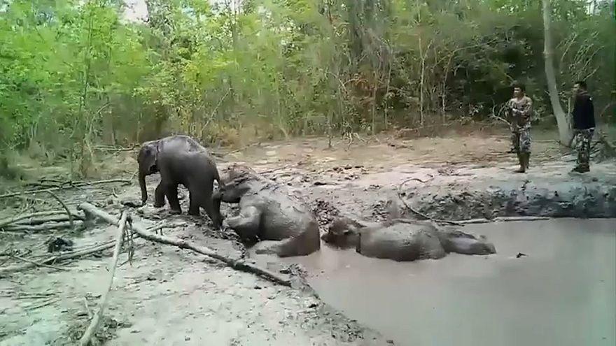 شاهد: إنقاذ فيلة عالقة في بركة من الطين