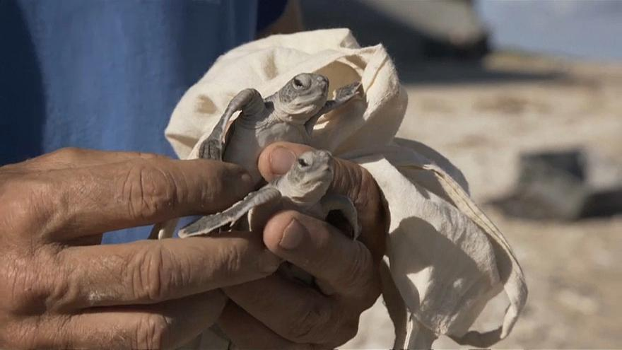 Heureux événement à La Réunion, les œufs de tortues marines ont éclos
