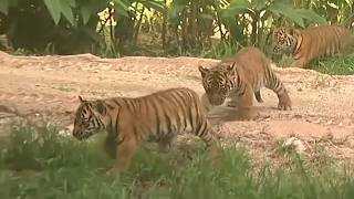 The tigers were born at the zoo in January