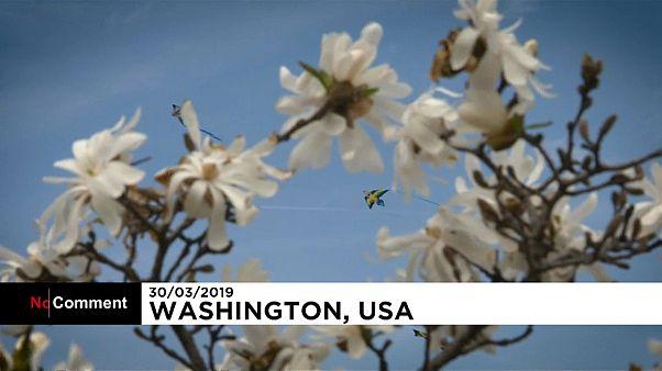 Buntes Drachensteigen beim Kirschblütenfest in Washington