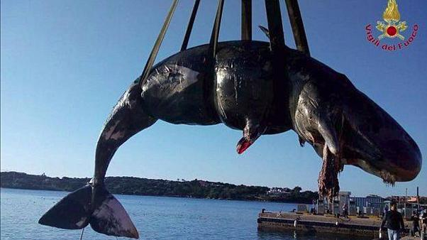Sperm whale washes up dead near Sardinia with 22 kilograms of plastic in its stomach