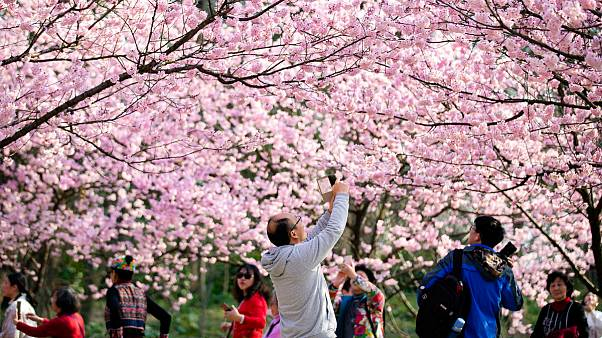 جلوه بهاری مناظر چین با شکوفه های درختان