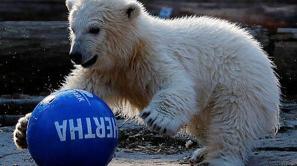 Der Tierpark nennt das kleine Eisbär-Baby Hertha