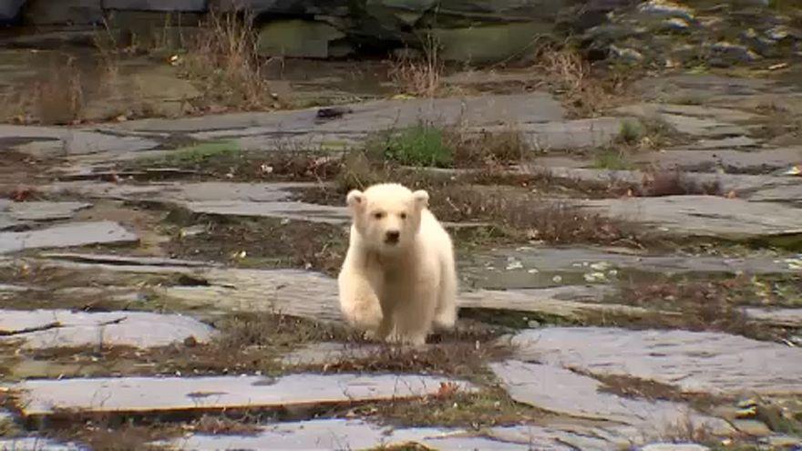 A jegesmedvebocs, aki Dárdai Pál csapatáról kapta a nevét