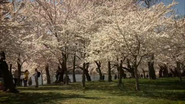 ABD'de Japon kiraz çiçekleri açtı
