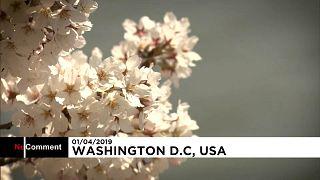 В Вашингтоне расцвела сакура