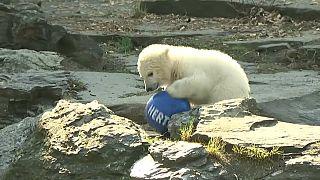 Urso polar Hertha brinca com a bola do seu clube