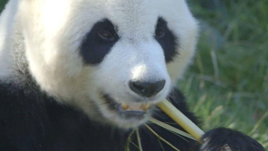 Streit um Chinas Panda-Diplomatie: Dänemark bekommt 2 Bären