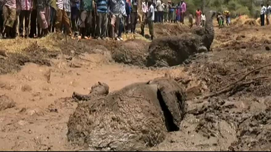 Beleragadt a sárba három elefánt Kenyában, de sikerült megmenteni őket