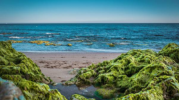 Seaweed can save the planet from plastic waste