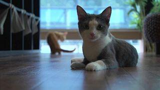 في مقهى القطط في اليابان