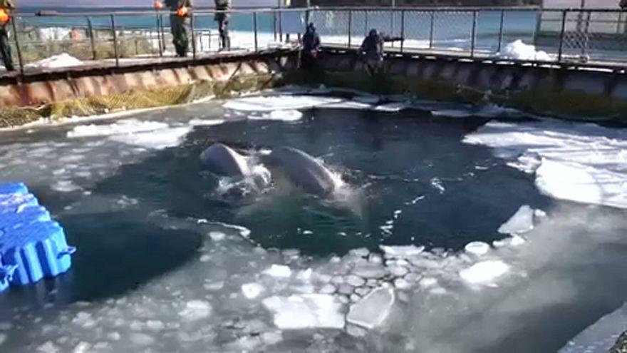 Rússia promete libertar cem baleias