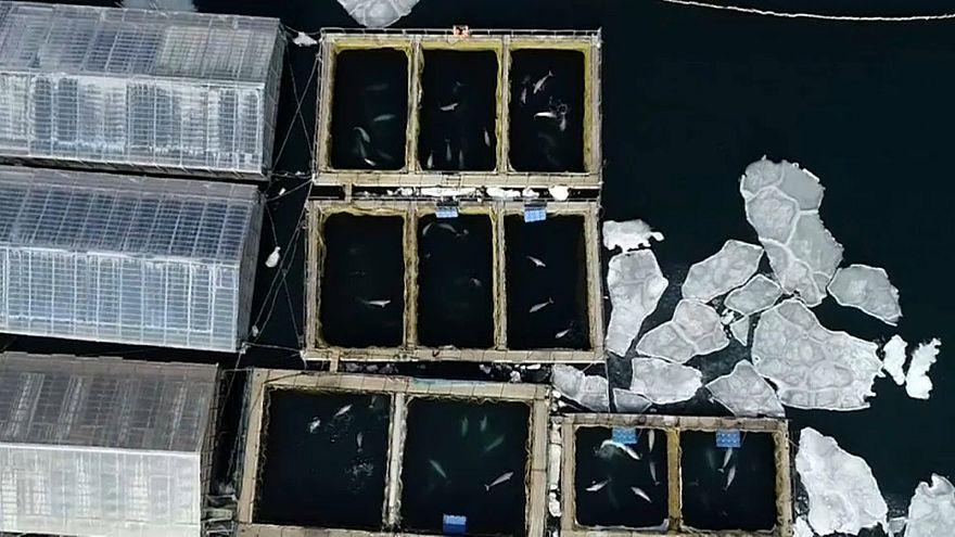 Wale in Russland sollen befreit werden