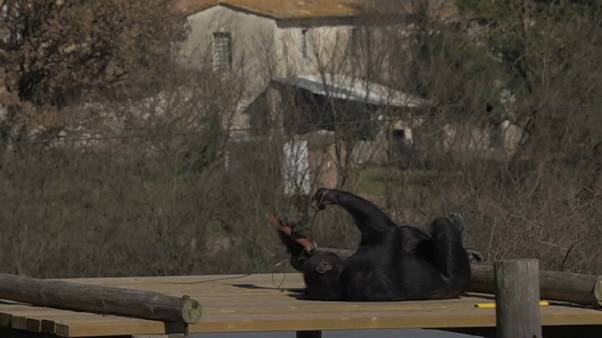 Un hogar feliz para chimpancés maltratados