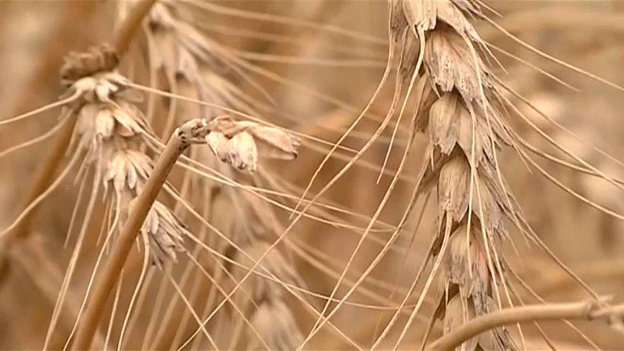 Weltweite Getreideernte deckt nicht den Bedarf