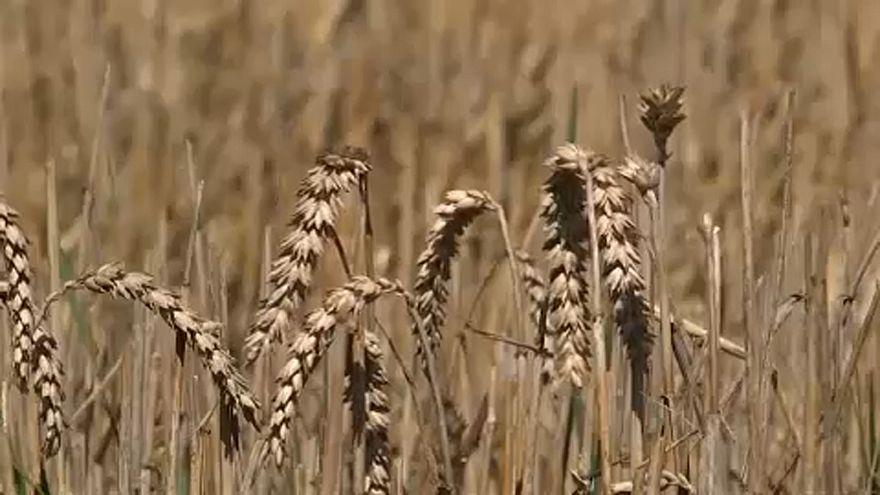 Az idei gabonatermés nem fedezi a szükségletet
