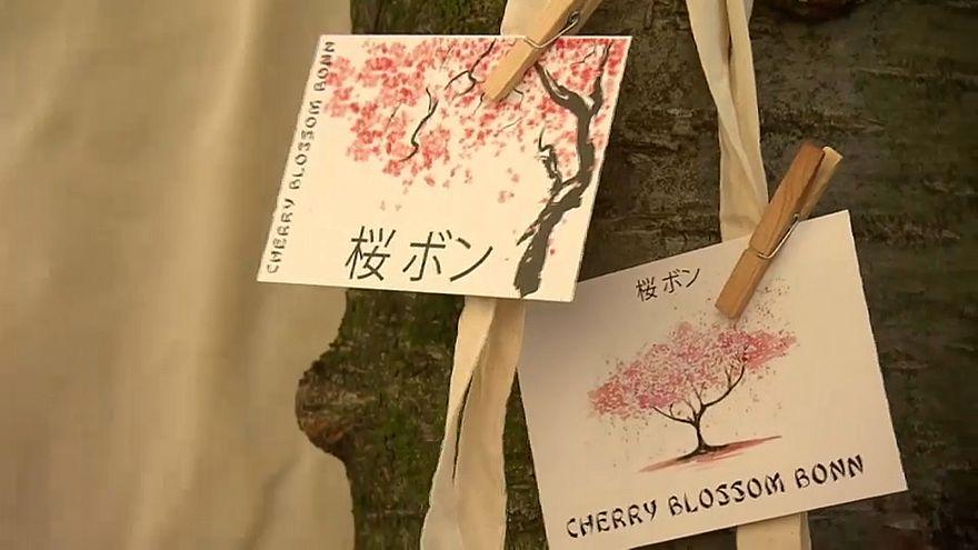 Kirschblüte in Bonn und Tokio